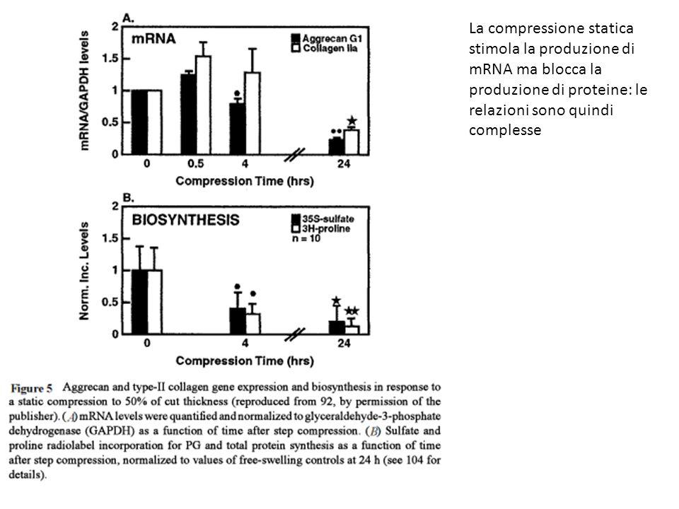 La compressione statica stimola la produzione di mRNA ma blocca la produzione di proteine: le relazioni sono quindi complesse