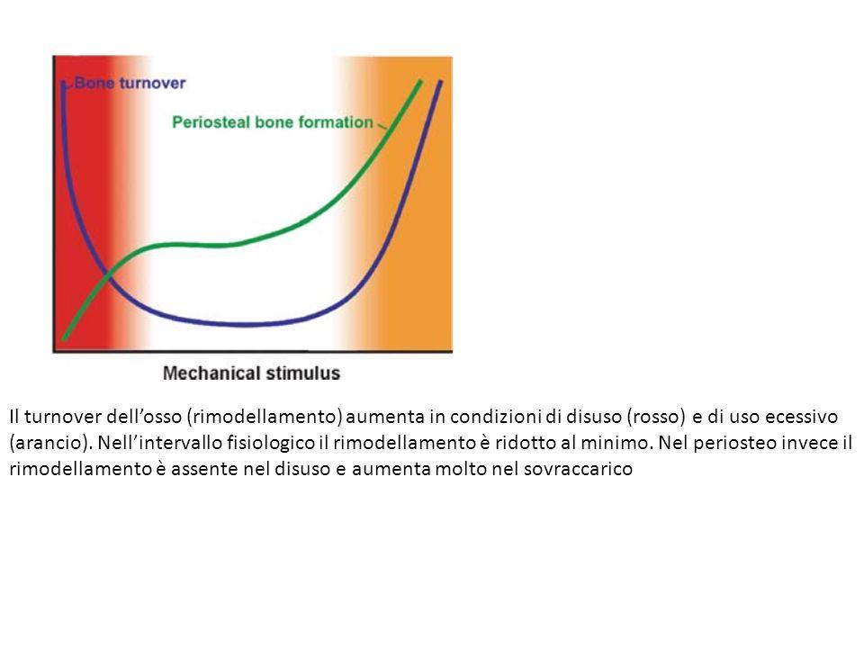 Il turnover dell'osso (rimodellamento) aumenta in condizioni di disuso (rosso) e di uso ecessivo (arancio).