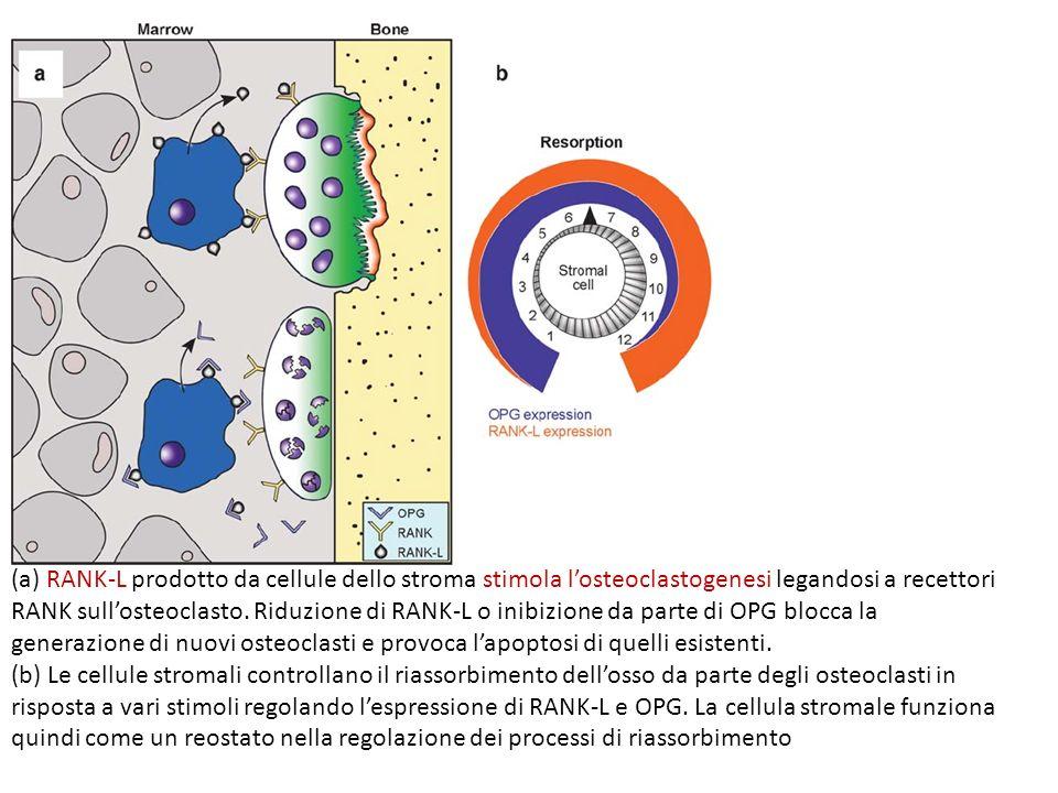 (a) RANK-L prodotto da cellule dello stroma stimola l'osteoclastogenesi legandosi a recettori RANK sull'osteoclasto. Riduzione di RANK-L o inibizione da parte di OPG blocca la generazione di nuovi osteoclasti e provoca l'apoptosi di quelli esistenti.