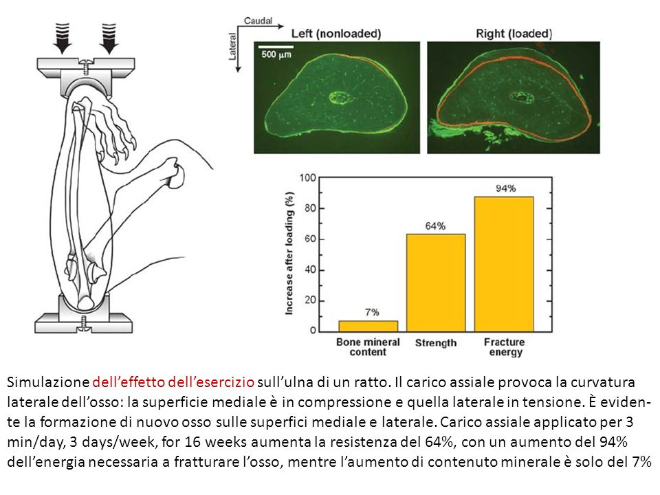 Simulazione dell'effetto dell'esercizio sull'ulna di un ratto