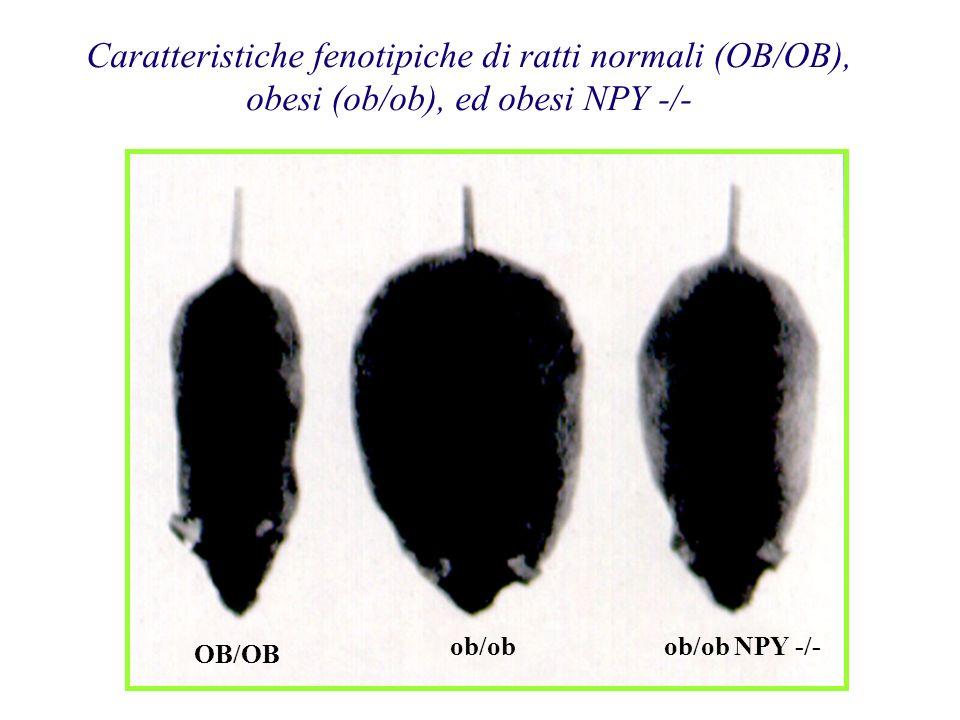 Caratteristiche fenotipiche di ratti normali (OB/OB),