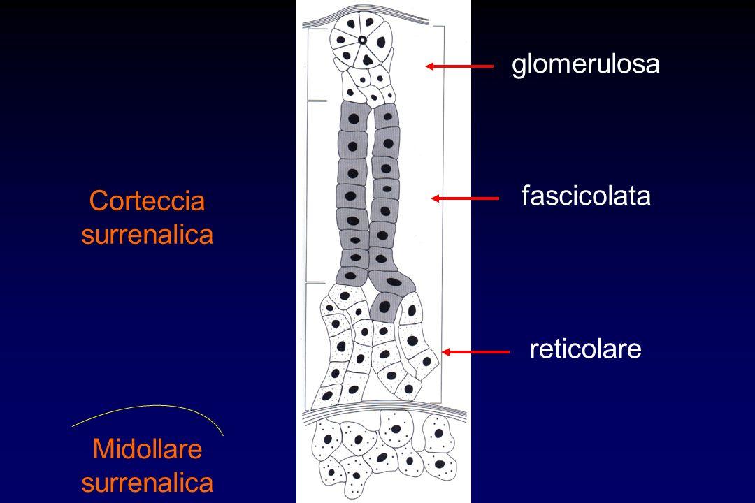 glomerulosa fascicolata Corteccia surrenalica reticolare Midollare surrenalica