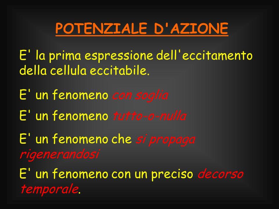 POTENZIALE D AZIONEE la prima espressione dell eccitamento della cellula eccitabile. E un fenomeno con soglia.