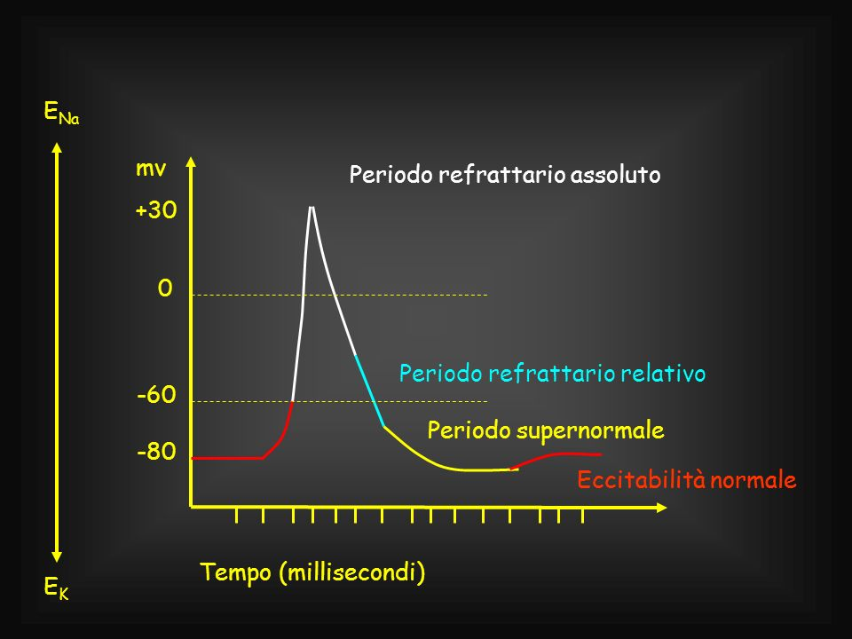 EK-60. -80. +30. mv. Tempo (millisecondi) ENa. Periodo refrattario assoluto. Periodo refrattario relativo.