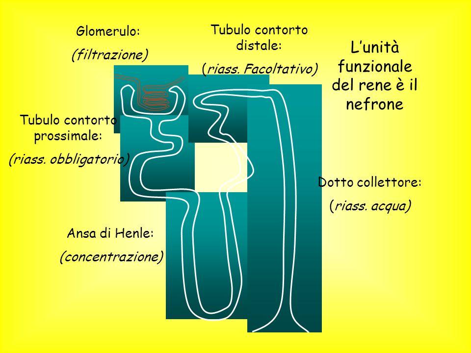 L'unità funzionale del rene è il nefrone