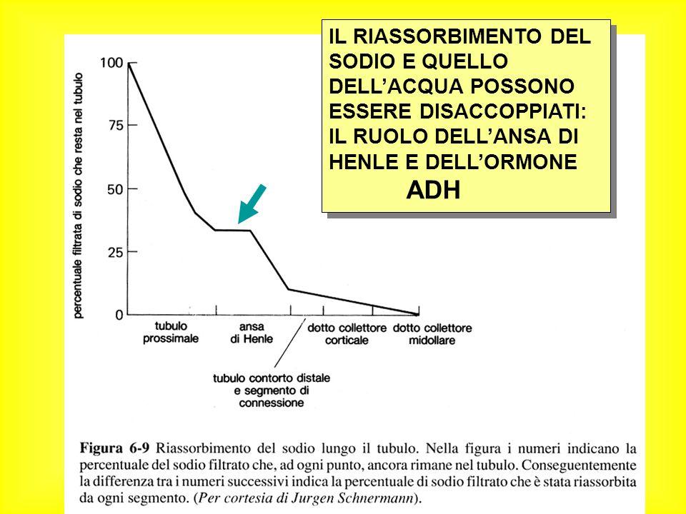 IL RIASSORBIMENTO DEL SODIO E QUELLO DELL'ACQUA POSSONO ESSERE DISACCOPPIATI: IL RUOLO DELL'ANSA DI HENLE E DELL'ORMONE ADH