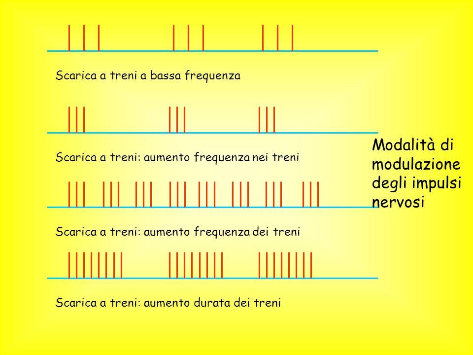 Modalità di modulazione degli impulsi nervosi