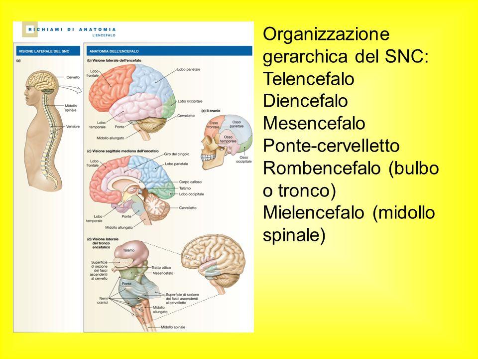 Organizzazione gerarchica del SNC: Telencefalo