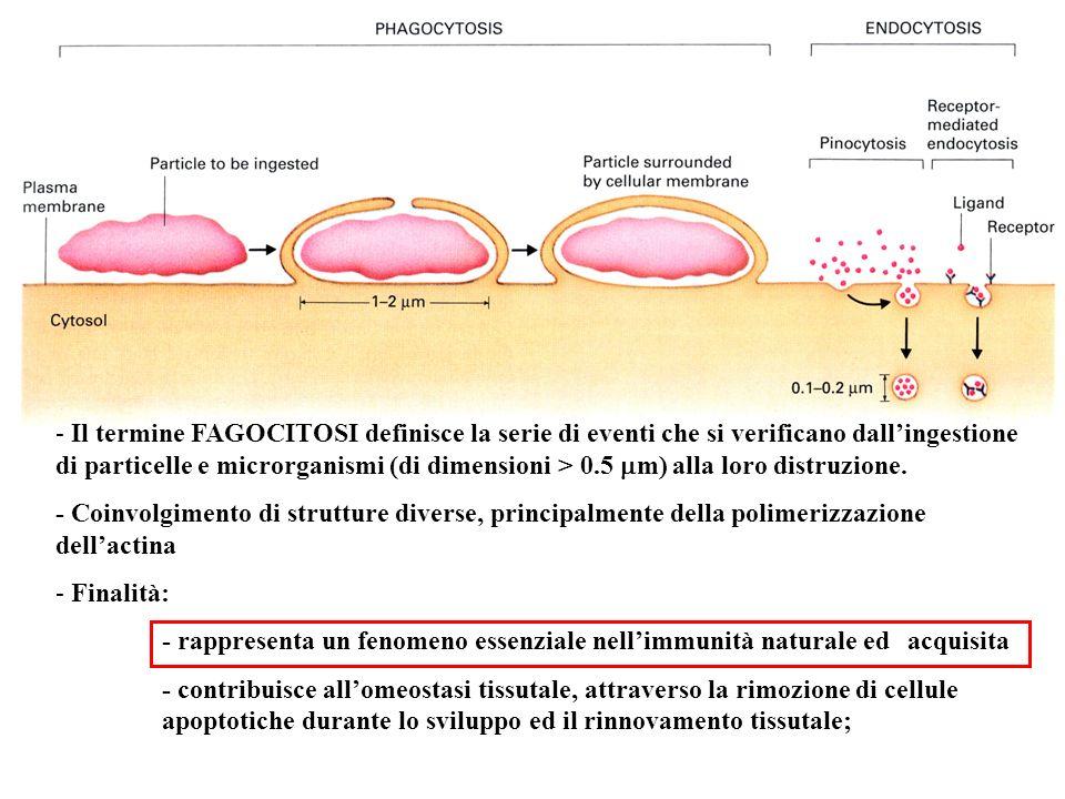 Il termine FAGOCITOSI definisce la serie di eventi che si verificano dall'ingestione di particelle e microrganismi (di dimensioni > 0.5 mm) alla loro distruzione.