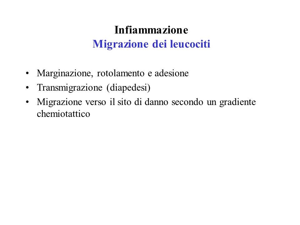 Infiammazione Migrazione dei leucociti