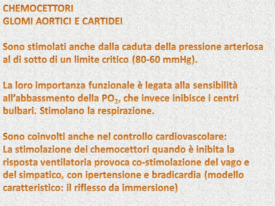 CHEMOCETTORIGLOMI AORTICI E CARTIDEI. Sono stimolati anche dalla caduta della pressione arteriosa al di sotto di un limite critico (80-60 mmHg).