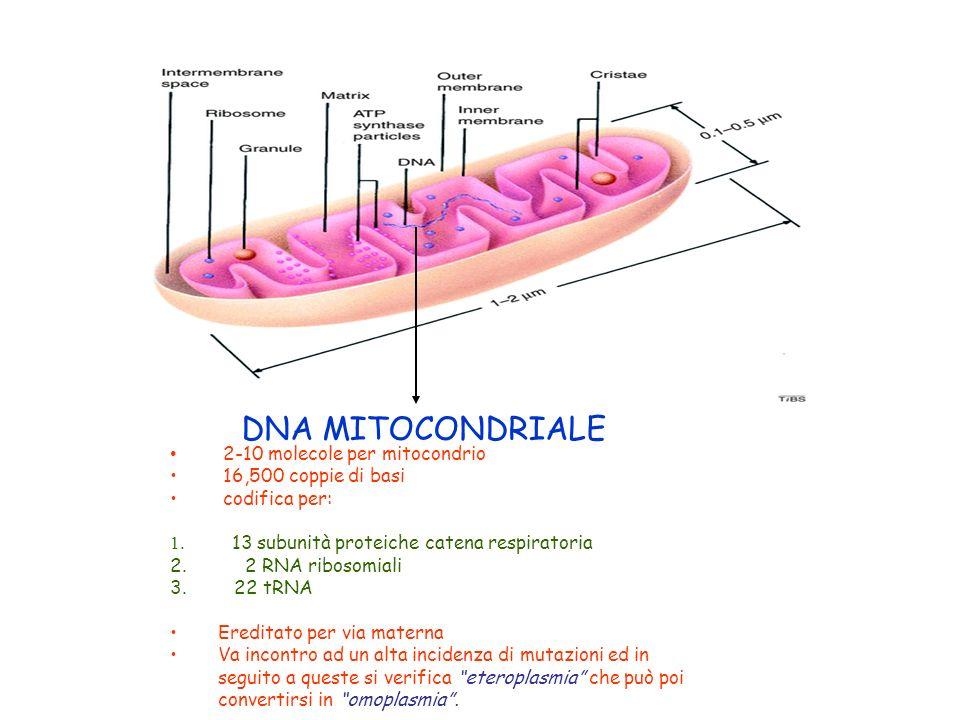 DNA MITOCONDRIALE 2-10 molecole per mitocondrio 16,500 coppie di basi