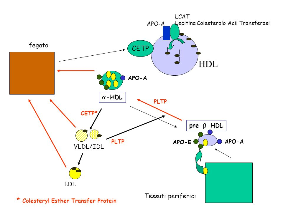 HDL CETP * Colesteryl Esther Transfer Protein fegato a-HDL pre-b-HDL