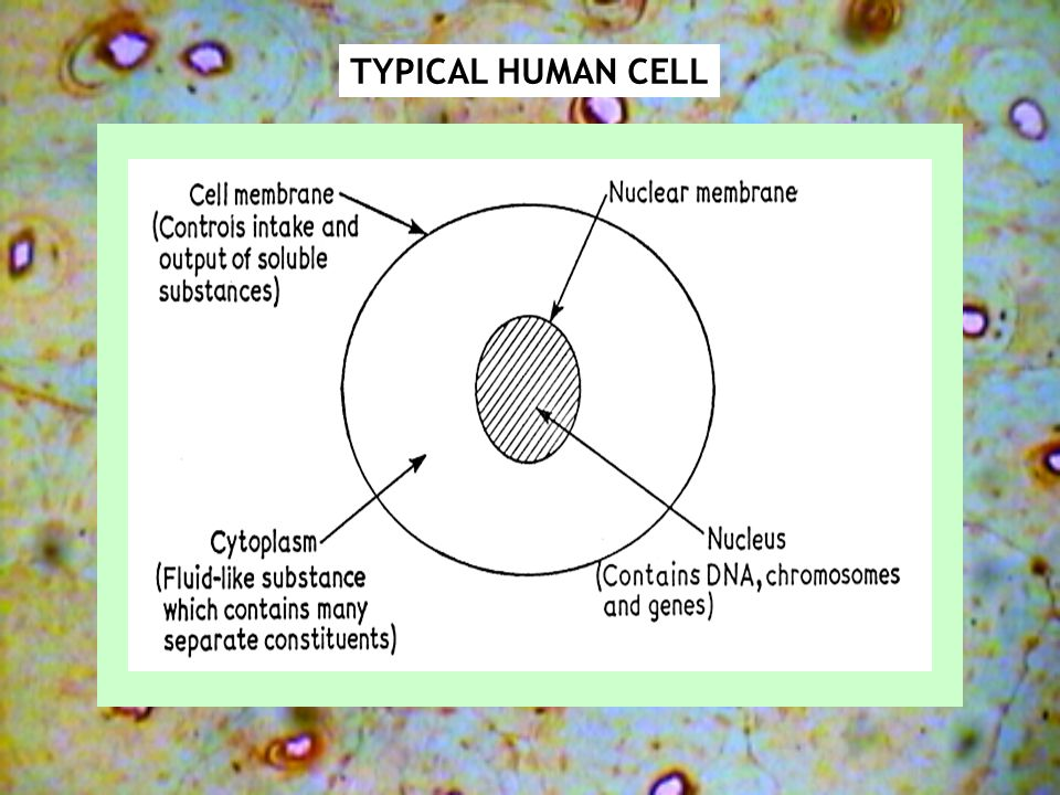 TYPICAL HUMAN CELL