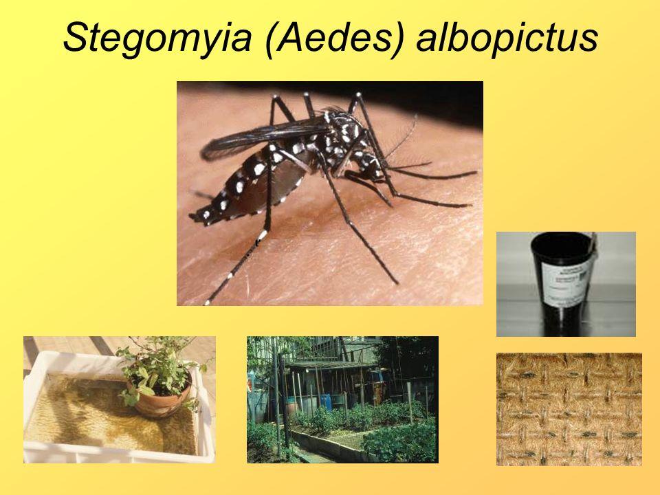 Stegomyia (Aedes) albopictus