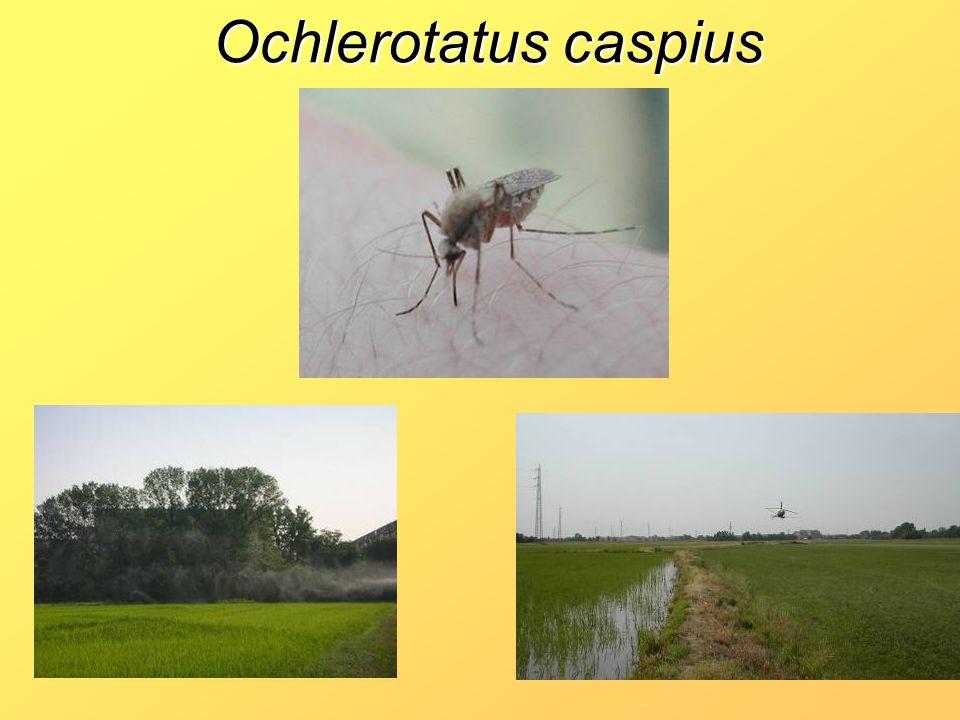 Ochlerotatus caspius