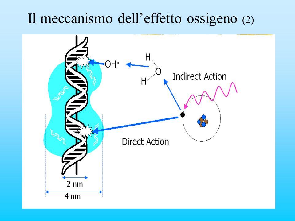 Il meccanismo dell'effetto ossigeno (2)