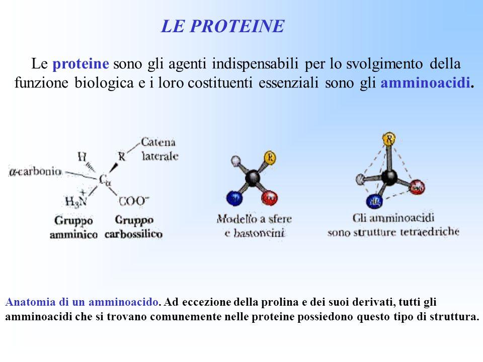 Le proteine sono gli agenti indispensabili per lo svolgimento della