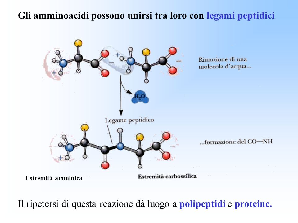 Gli amminoacidi possono unirsi tra loro con legami peptidici