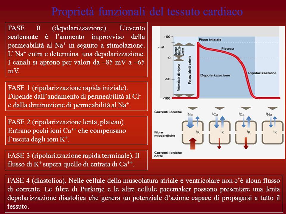 Proprietà funzionali del tessuto cardiaco
