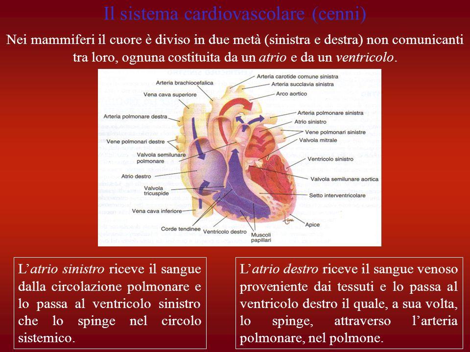 Il sistema cardiovascolare (cenni)