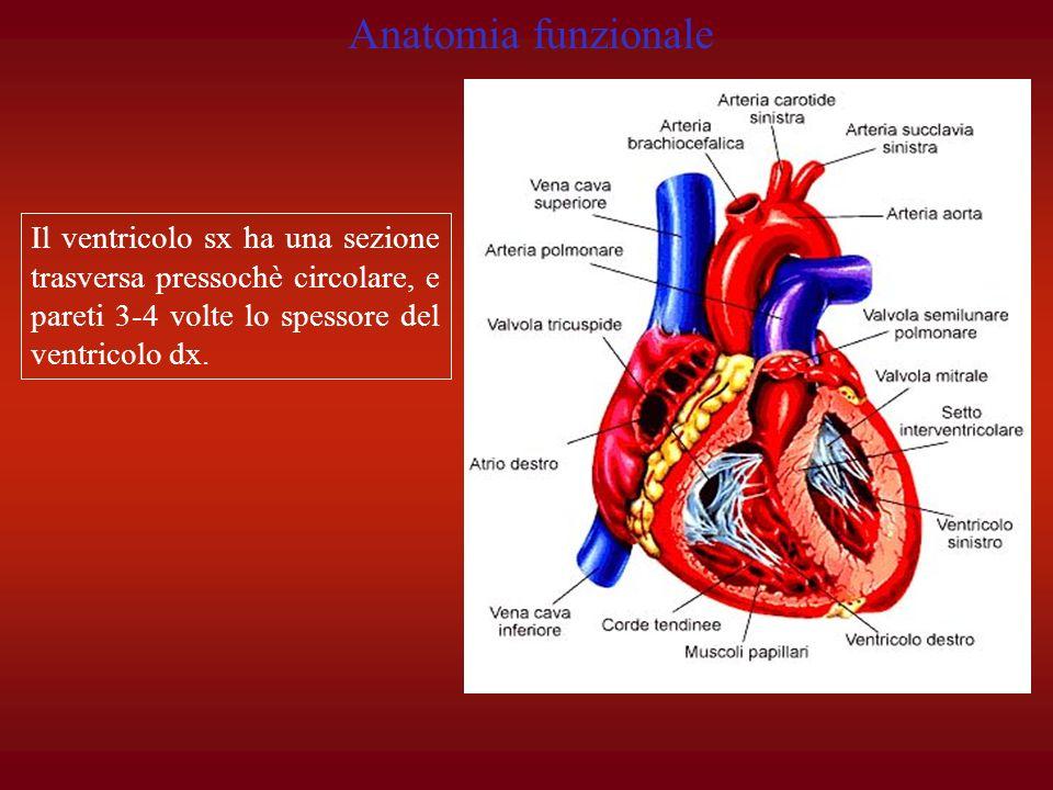 Anatomia funzionale Il ventricolo sx ha una sezione trasversa pressochè circolare, e pareti 3-4 volte lo spessore del ventricolo dx.