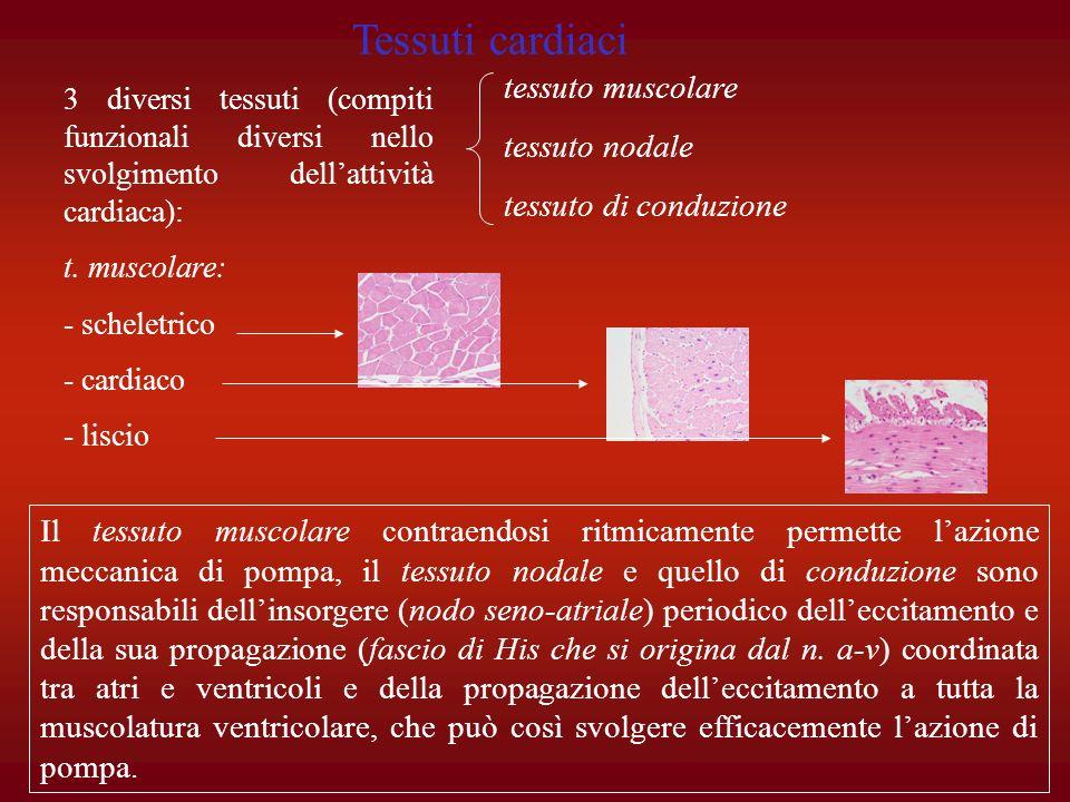 Tessuti cardiaci tessuto muscolare tessuto nodale