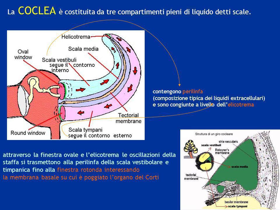 La COCLEA è costituita da tre compartimenti pieni di liquido detti scale.