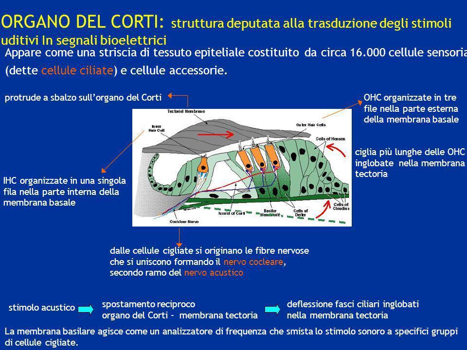 ORGANO DEL CORTI: struttura deputata alla trasduzione degli stimoli