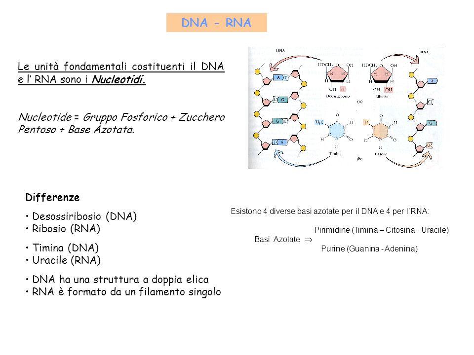 DNA - RNA Le unità fondamentali costituenti il DNA e l' RNA sono i Nucleotidi. Nucleotide = Gruppo Fosforico + Zucchero Pentoso + Base Azotata.
