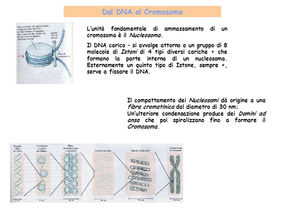 Dal DNA al Cromosoma L'unità fondamentale di ammassamento di un cromosoma è il Nucleosoma.