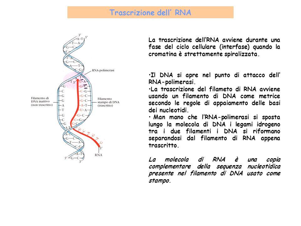 Trascrizione dell' RNA