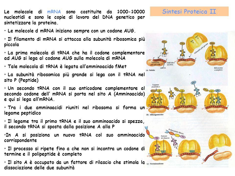 Le molecole di mRNA sono costituite da 1000-10000 nucleotidi e sono le copie di lavoro del DNA genetico per sintetizzare la proteina.