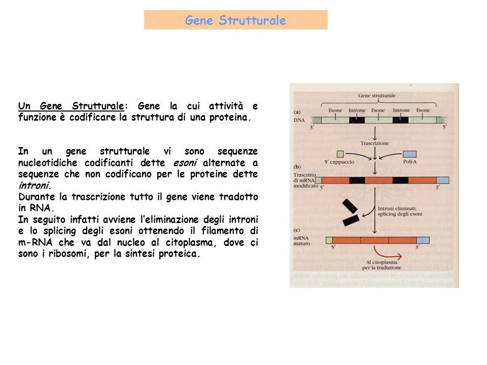 Gene Strutturale Un Gene Strutturale: Gene la cui attività e funzione è codificare la struttura di una proteina.
