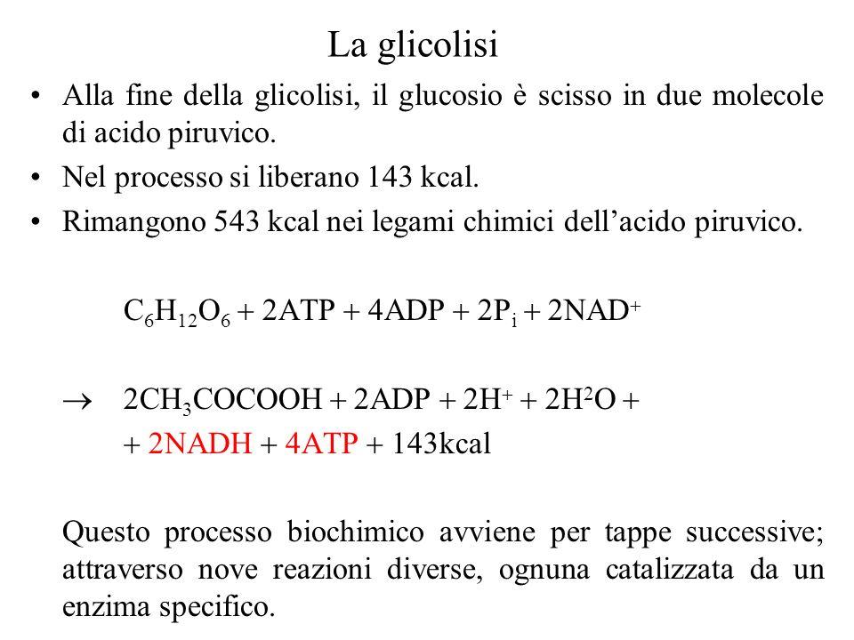 La glicolisi Alla fine della glicolisi, il glucosio è scisso in due molecole di acido piruvico. Nel processo si liberano 143 kcal.