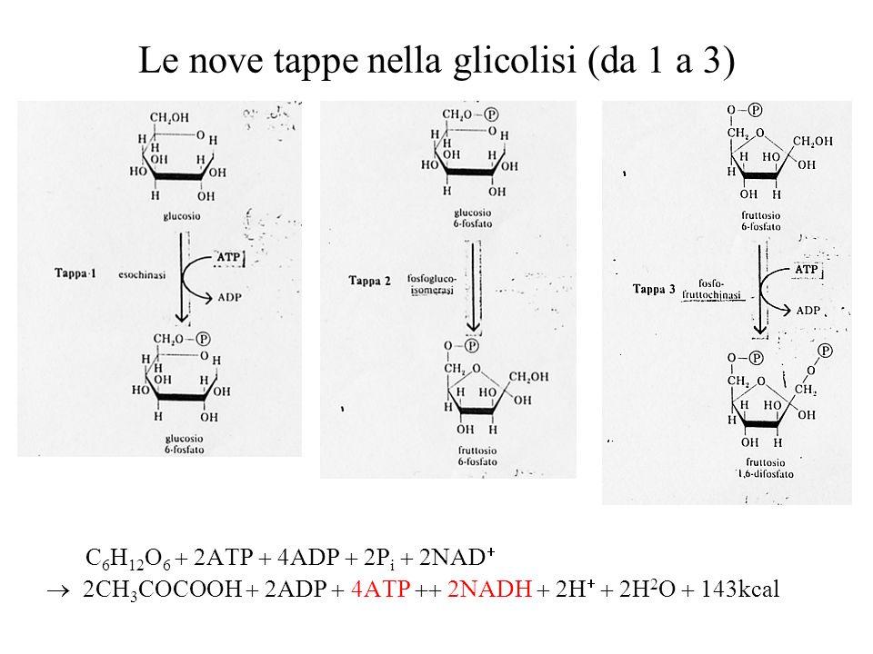 Le nove tappe nella glicolisi (da 1 a 3)