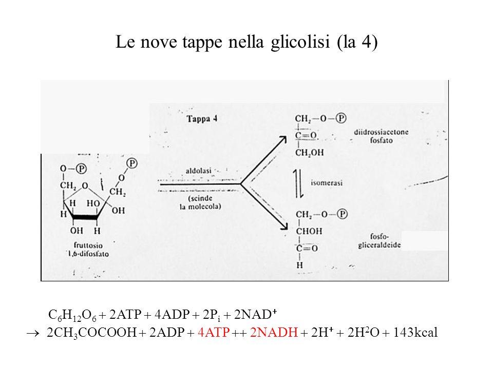 Le nove tappe nella glicolisi (la 4)