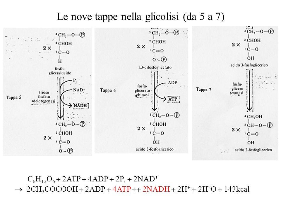 Le nove tappe nella glicolisi (da 5 a 7)