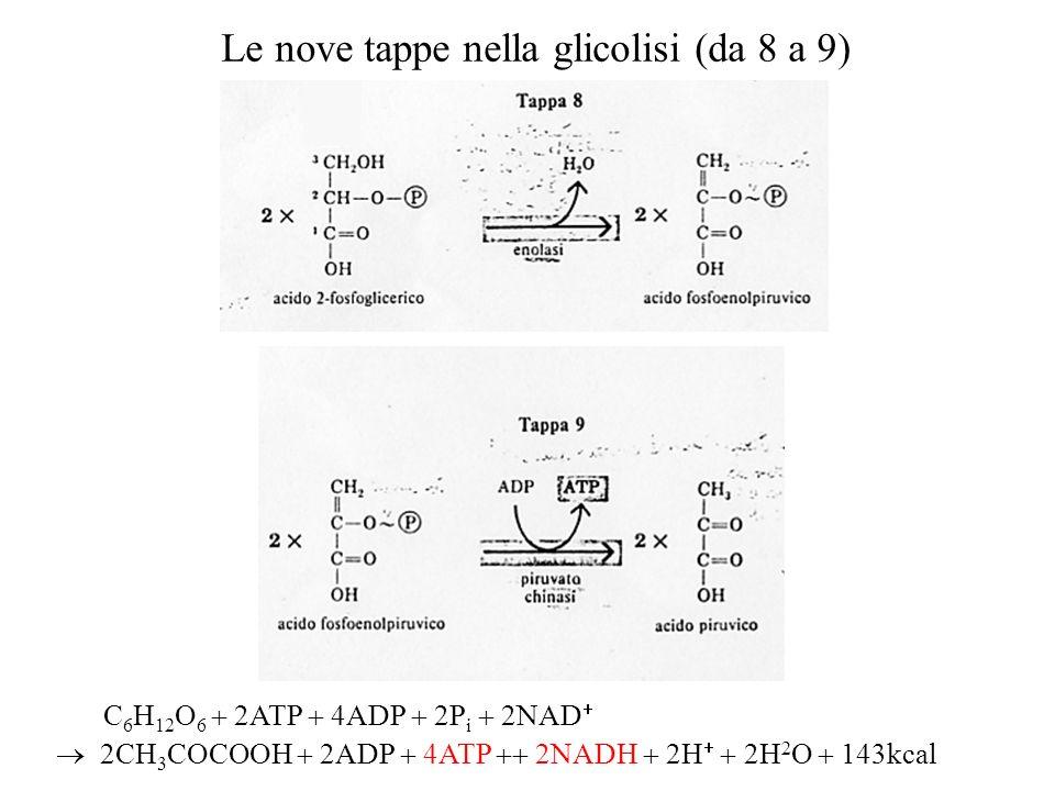Le nove tappe nella glicolisi (da 8 a 9)