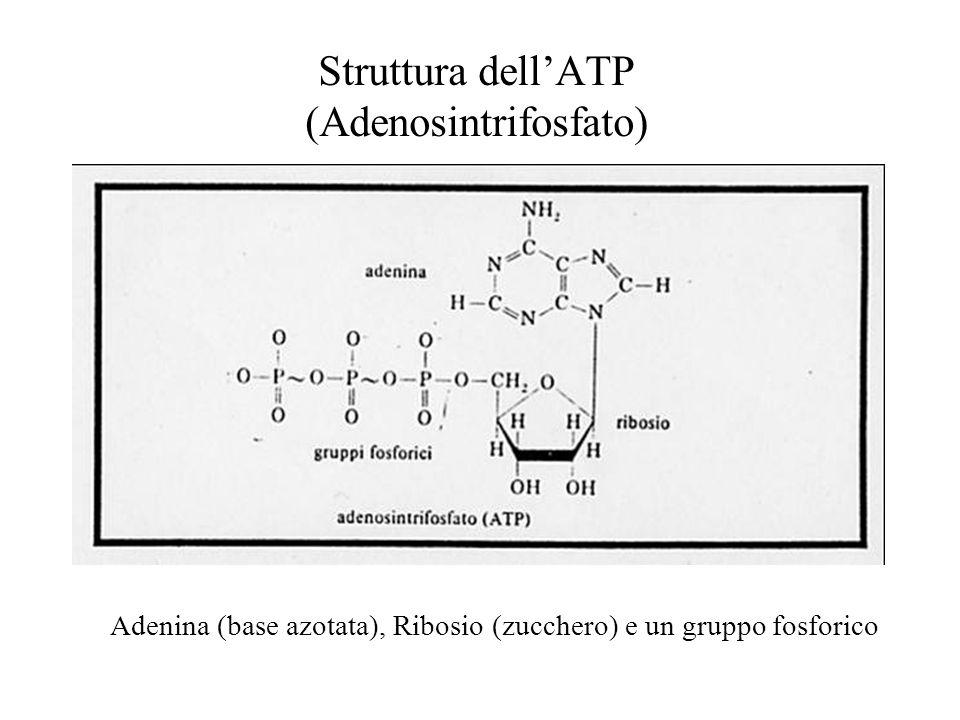 Struttura dell'ATP (Adenosintrifosfato)
