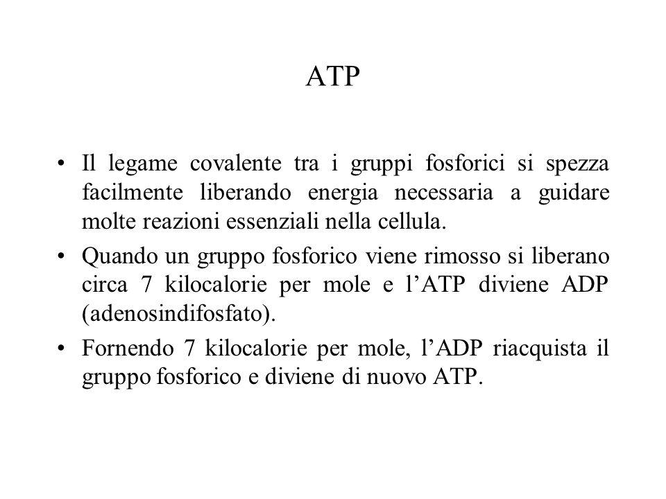 ATP Il legame covalente tra i gruppi fosforici si spezza facilmente liberando energia necessaria a guidare molte reazioni essenziali nella cellula.