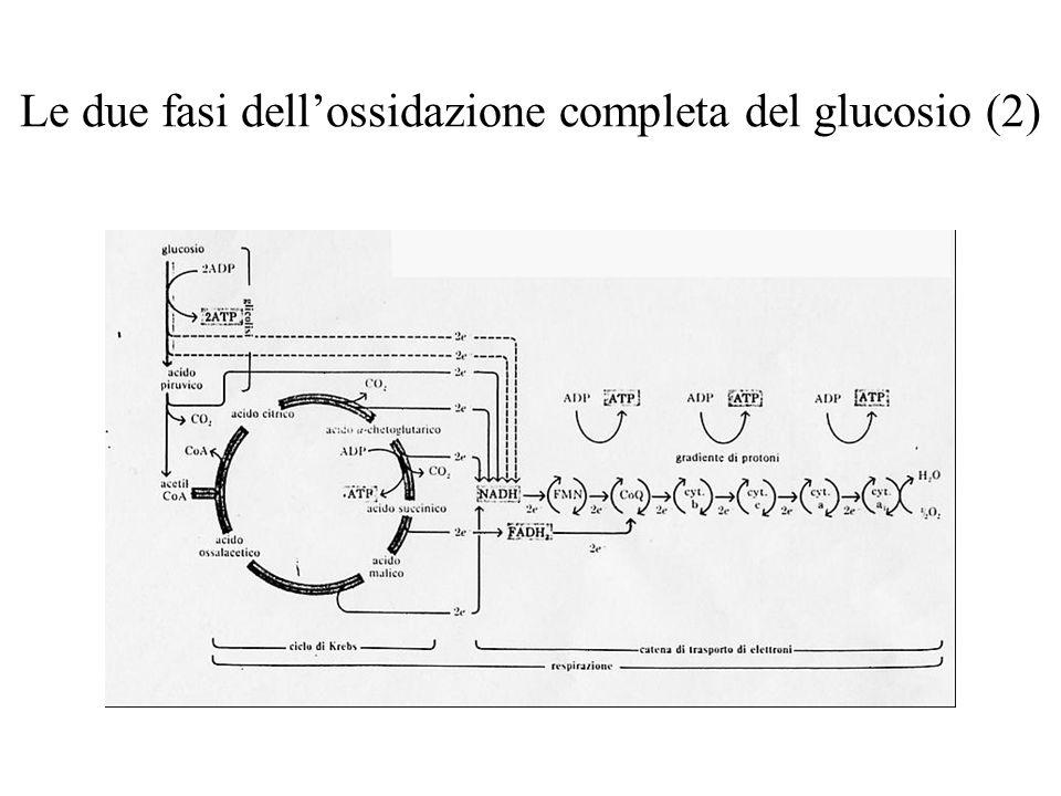 Le due fasi dell'ossidazione completa del glucosio (2)