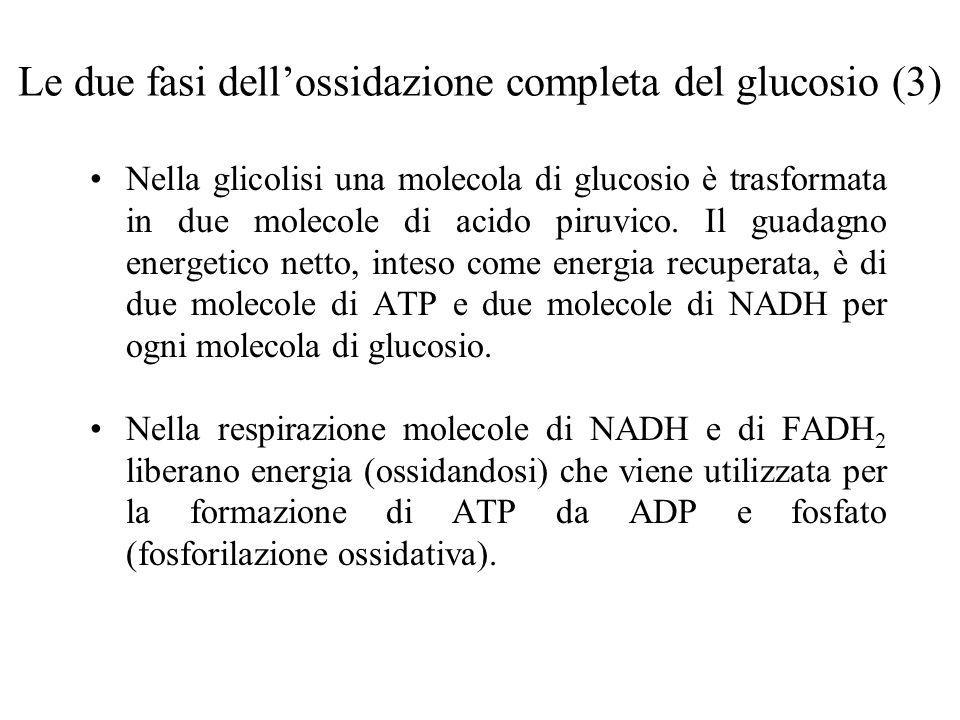 Le due fasi dell'ossidazione completa del glucosio (3)