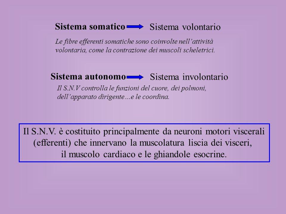 Il S.N.V. è costituito principalmente da neuroni motori viscerali
