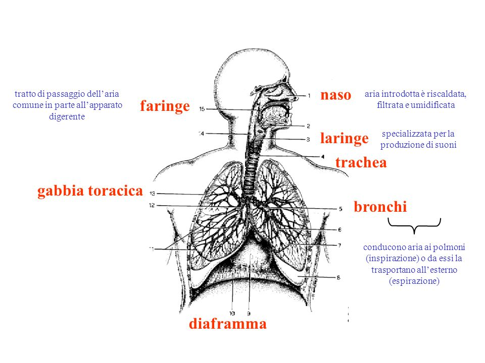 naso faringe laringe trachea gabbia toracica bronchi diaframma