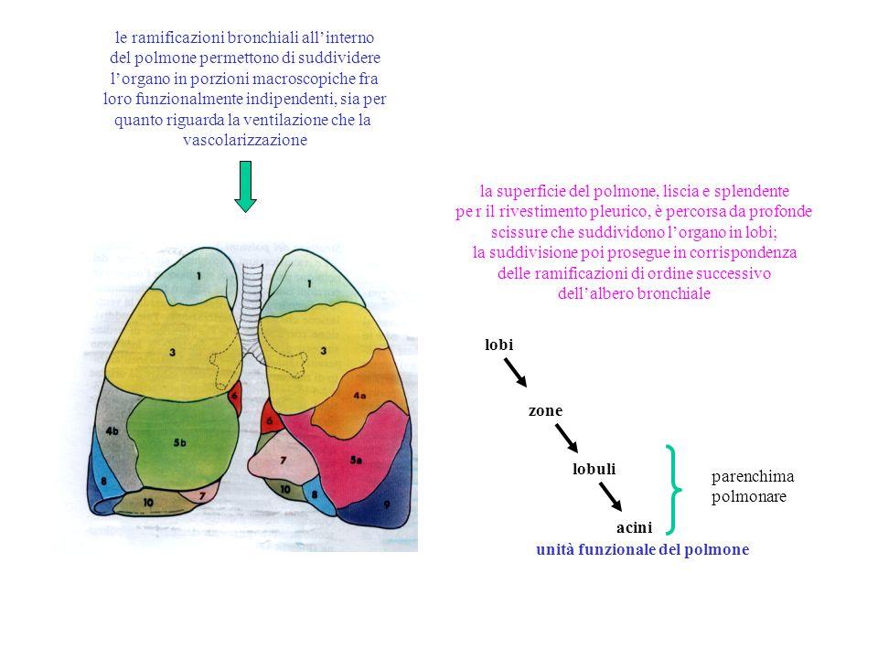 le ramificazioni bronchiali all'interno