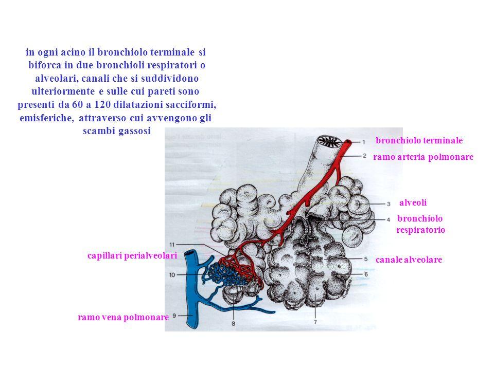 in ogni acino il bronchiolo terminale si