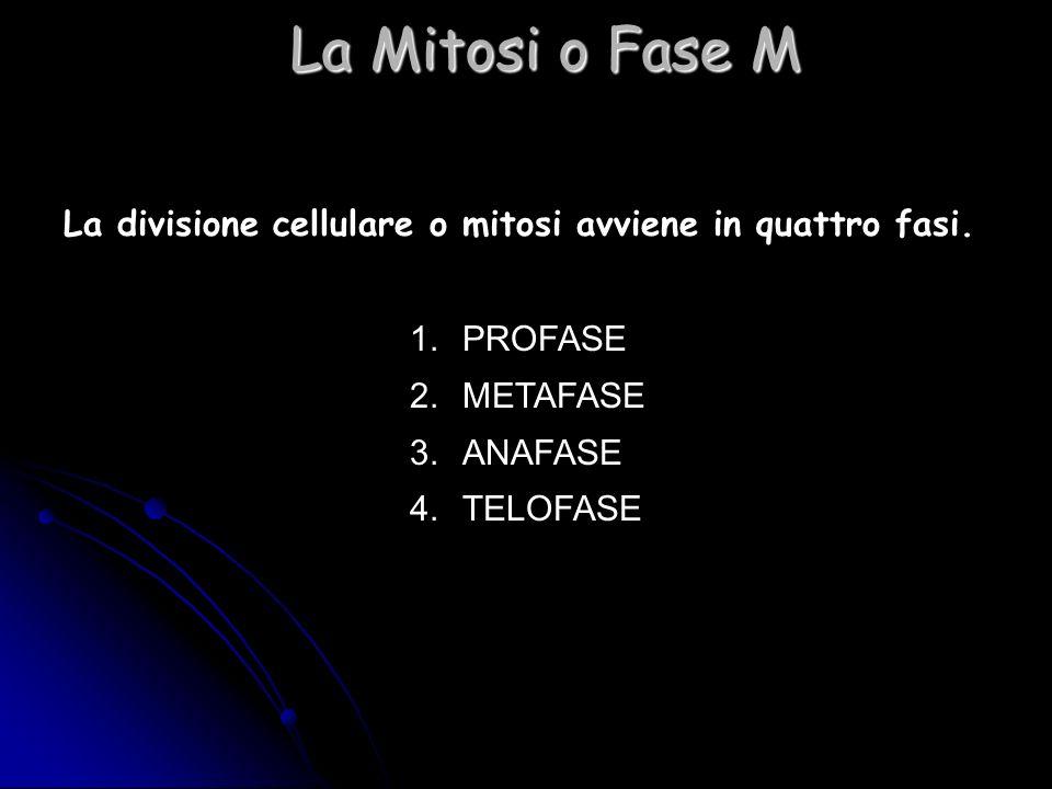 La Mitosi o Fase M La divisione cellulare o mitosi avviene in quattro fasi. PROFASE. METAFASE. ANAFASE.