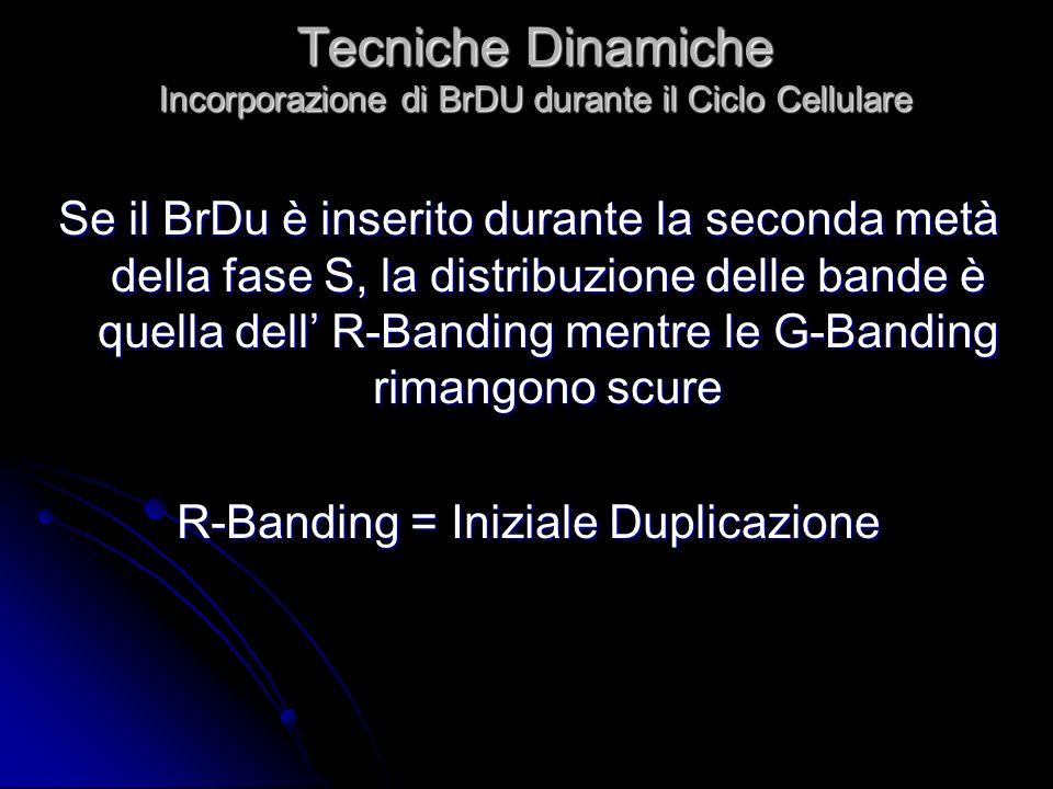 Tecniche Dinamiche Incorporazione di BrDU durante il Ciclo Cellulare