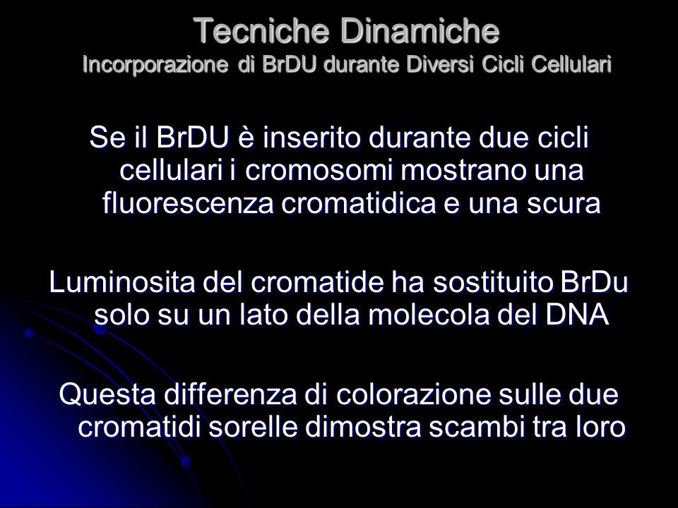Tecniche Dinamiche Incorporazione di BrDU durante Diversi Cicli Cellulari